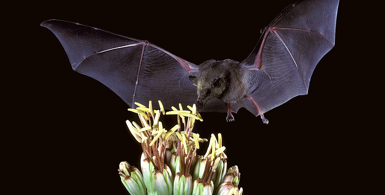 bat licking nectar from a flower